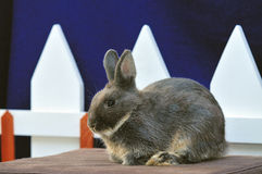 Kaninchen-Netherland Zwerg 03 Stockfotografie