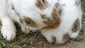 Kaninchen säubern ihren Pelz mit anderen Kaninchen stock footage