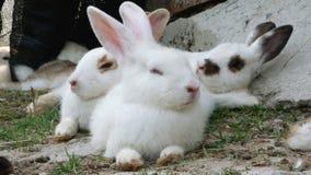Kaninchen steht still Kaninchen ist von der Atmung müde stock video footage