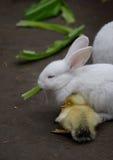 Kaninchen und Ente Lizenzfreie Stockbilder