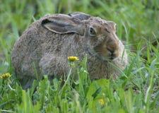 Kaninchen und Löwenzahn stockbild