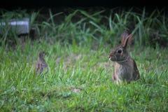 Kaninchen und Taube Lizenzfreies Stockbild