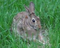 Kaninchen, welches die Babys im Nest aufpasst Lizenzfreie Stockfotos