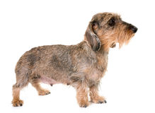 Kaninchen Wire-haired Dachshund Stock Images