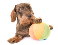 Kaninchen Wire-haired Dachshund Stock Photography