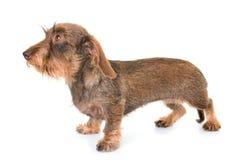 Kaninchen Wire-haired Tekkel royalty-vrije stock afbeelding