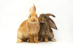 Kaninchen zwei Lizenzfreies Stockbild