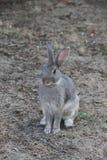 Kaninchenwilde Wartenahrung oder etwas Gras Lizenzfreies Stockbild