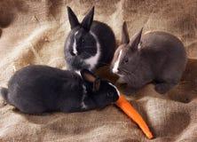 Kaninchenzwerg mit drei Holländern essen Karotten auf Sackleinen Stockfotografie