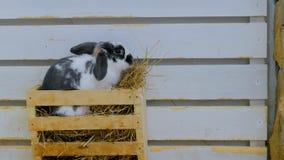 Kaniner äter hö i lantgård Arkivbild