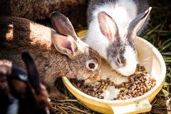 Kaniner äter mat Royaltyfria Bilder