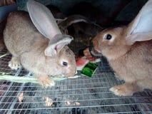 Kaniner äter vattenmelon arkivfoton