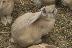 Kaniner Arkivbild