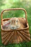 kaniner Fotografering för Bildbyråer