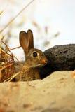 kaniner Royaltyfri Bild