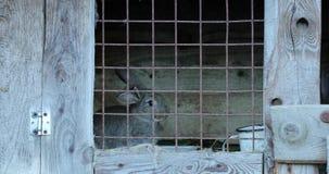 Kaniner bak stänger i deras trähus lager videofilmer