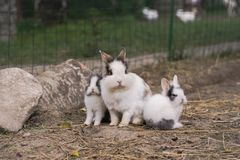 kaniner royaltyfria bilder