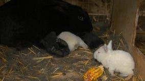 Kaniner i bur på lantgården arkivfilmer