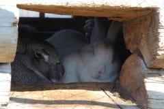 Kaniner i hus Arkivfoto