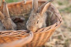Kaniner i korg på lantgård Arkivbilder