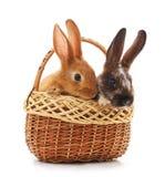 Kaniner i korgen royaltyfri foto