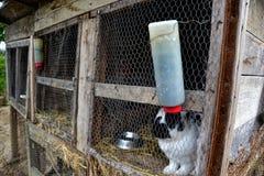 Kaniner i skjulet Lantgårddjur i bur Caged kaniner på ladugårdgården Fotografering för Bildbyråer
