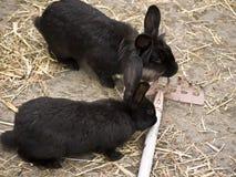 kaniner krattar Arkivbild