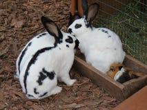 Kaniner och försökskanin Fotografering för Bildbyråer