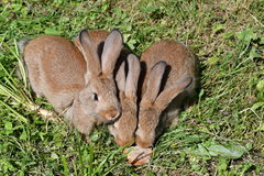 Kaniner på ängen arkivbild