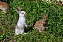 Kaniner på ängen arkivbilder