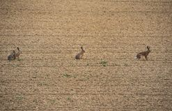 Kaniner på fältet fotografering för bildbyråer