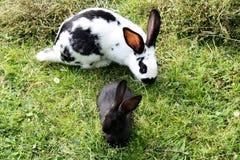 Kaniner på gräs Arkivfoton