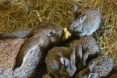 Kaniner på hö, moder av kanin och små och härliga gråa kaniner på doftande, gulnar, torkar hö som går, kaniner med stora öron Arkivbild
