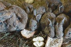 Kaniner på hö, moder av kanin och små och härliga gråa kaniner på doftande, gulnar, torkar hö som går, kaniner med stora öron Royaltyfri Fotografi