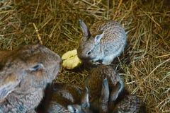 Kaniner på hö, moder av kanin och små och härliga gråa kaniner på doftande, gulnar, torkar hö som går, kaniner med stora öron Arkivbilder