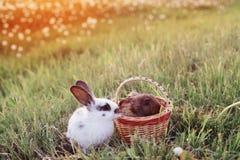 Kaniner på solnedgången royaltyfri bild