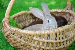 Kaniner sitter i korgen fotografering för bildbyråer