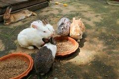 Kaniner som äter kaninmat Arkivfoto