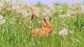 Kaniner som körs bland maskrosor på en solig dag