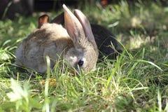 kaniner två Arkivfoton