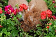 Kaninförälskelse Fotografering för Bildbyråer