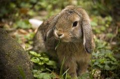 kaninfloppy Arkivbilder