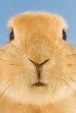 Kaninmorrhår stänger sig upp royaltyfri foto