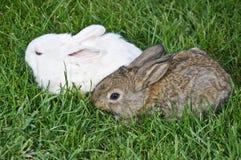 kaninpargräs arkivbilder