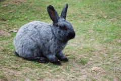 Kaninsammanträde på det gröna gräset Royaltyfri Bild