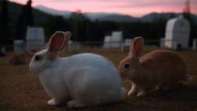 Kaninsammanträde på solnedgångtid Arkivbilder