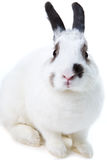 kaninwhite Royaltyfri Fotografi