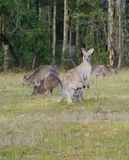 Kangaroo band a joey in the pounch Royalty Free Stock Photos
