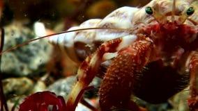 Kankerkluizenaar onderwater op zoek naar voedsel op zeebedding van Witte Overzees Rusland stock footage