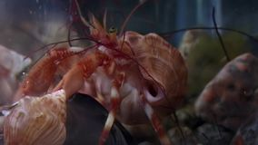 Kankerkluizenaar onderwater op zoek naar voedsel op zeebedding van Witte Overzees Rusland stock video